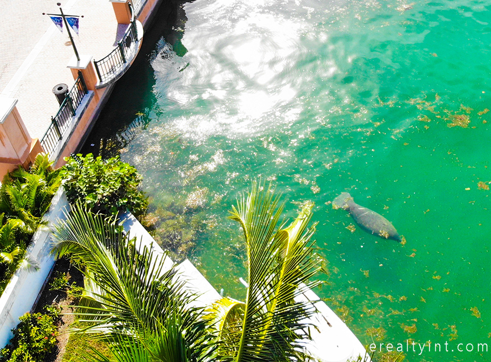 Key Biscayne canals - manatee